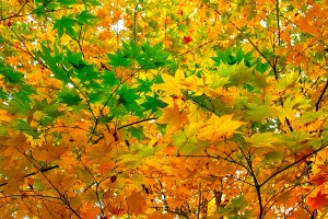 autumn-leaves_00018